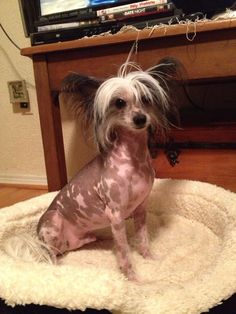 Chinese crested Ziggy