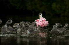 Roseate Spoonbill and Willets, by Scott Suriano.