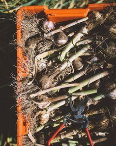Food, I like. #garlicfordays #organicfarming #knowyourfarmer