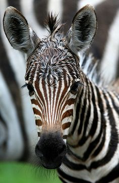 Baby Zebra. Hope  you are feeling better every day!