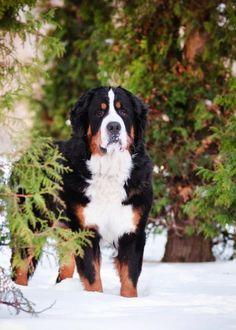 Stunning portrait of a Bernese Mountain Dog