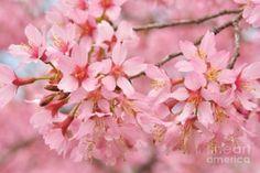 Photograph - Cherry Blossom Pastel Iv by Regina Geoghan
