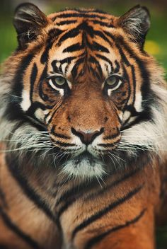 Save the Tigers..