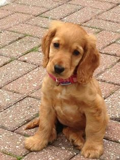 English Cocker Spaniel Pup ~ Classic Cocker Look & Trim