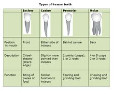 Humans use four different types of teeth (incisors, canine, premolars, and molars) to cut, tear and grind their food.