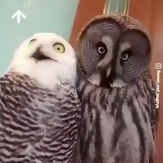 funny pictures of animals videos & funny pictures . funny pictures to take with friends . funny pictures of animals videos . funny pictures of chickens Funny Owls, Funny Birds, Cute Funny Animals, Cute Baby Animals, Animals And Pets, Owl Pictures, Owl Photos, Funny Pictures, Beautiful Owl