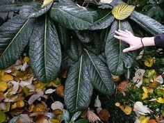 Rhododedron sinogrande - The coolest rhododendron around....