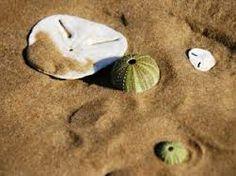 pansy shell plettenberg bay - Google Search