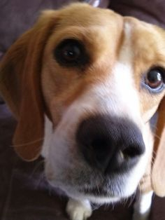 Even beagles have selfies. Winnie, a rescued beagle who now has a loving home. Kindness Ranch sanctuary for research animals. Dogs and cats need loving homes. My beagle Winnie is the sweetest most life loving dog. Adopt!