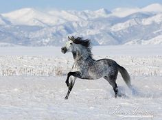 A grey Andalusian stallion runs in the snow in Colorado  www.LivingImagesCJW.com