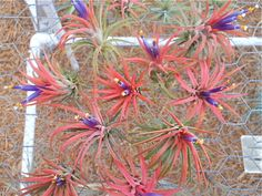 Air Plant Variety Pack 5 Assorted Ionantha by TheLivingArt