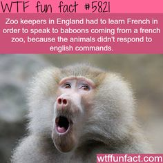 English zoo keepers had to learn French to speak to baboons - WTF fun facts