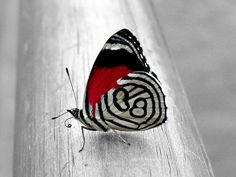 white/red butterfly