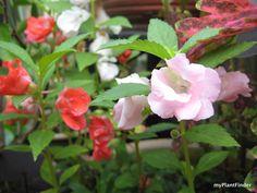 MY PLANT FINDER | Plant Guide: Impatiens balsamina