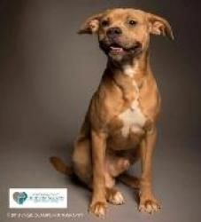 Nemo/Foster is an adoptable Pit Bull Terrier Dog in Rockville, MD. Hi! I'm Nemo/Foster ! I am a super sweet Pitbull/Staffordshire terrier mix.  I am neutered and 1 ½ years old.  I live with a 15-lb...