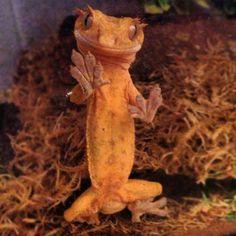 Bowzer the crested gecko  so cute