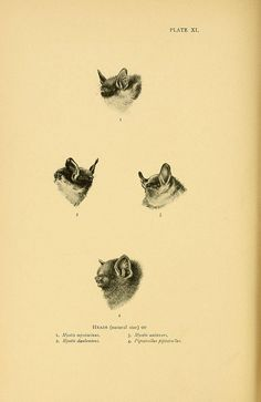 Bats  A history of British mammals. v.1.  London :Gurney and Jackson,1910-1921.