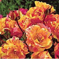 Savor its Big Tropical Blooms and Captivating Citrus Scent!