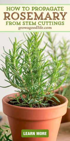 Herbs Indoors, Grow Rosemary Indoors, How To Grow Rosemary, How To Grow Herbs, Home Vegetable Garden, Herb Garden, Lawn And Garden, Growing Herbs, Growing Vegetables