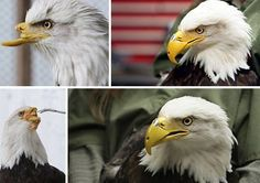 This Bald eagle lost her beak after being shot in the face by poachers. Engineers were able to design a prosthetic beak for the bird so that she could live on. We love people that love animals this much. Thank you for everything that you do! visit our blog-- http://we-earth.blogspot.in/  its INature