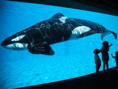 California bans SeaWorld's killer whale shows and breeding program -    California has banned  SeaWorld  's killer whale breeding program and entertainment shows under a new measure signed by Governor Jerry Brown on T...