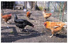 #Vogelnetten #ophokplicht #pluimvee