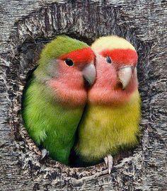 lovebirds in a tree hole