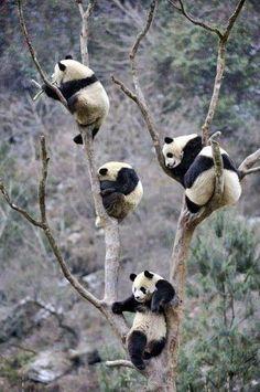 Panda Bears. Best animals on the planet.