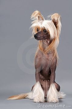 Chinese Crested Dog female