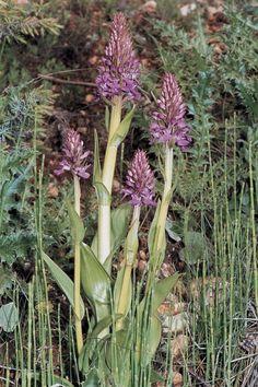 Dactylorhiza osmanica