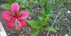 Beautiful Hibiscus Rosa-sinensis flower at office premise