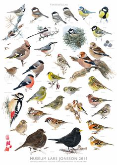 Wader Quest has been able to secure 26 signed copies of the new Lars Jonsson poster showing some winter birds to be seen in Sweden. Vogel Silhouette, Animals And Pets, Cute Animals, Bird Identification, Flora Und Fauna, Bird Theme, Bird Illustration, Bird Drawings, Wild Birds