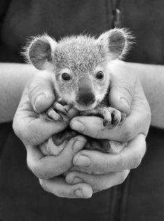 A handful........baby Koala~♛
