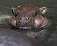 baby pygmy hippo = chubby cuteness! #animals #cute #wildlife That's tooooooooo cute!