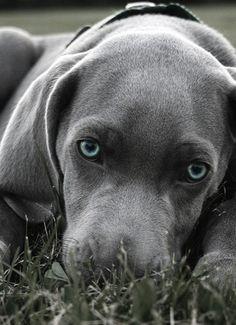 Weimeraner Sydney Pinterest Weimaraner Animal And - 29 cutest dog photos existence