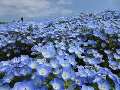 In this park,The most popular flowers are the nemophila flowers.
