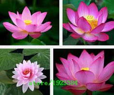 Visit to buy promotion 5 pieces lotus seeds flower seedslotus cheap seeds music buy quality seed pumpkin directly from china seed stock suppliers big mightylinksfo