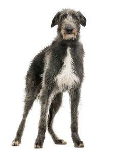 Scottish Deerhound Puppies Breed information & Puppies for Sale