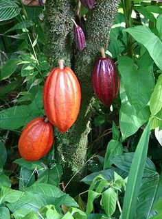 Chocolate: A cacao tree with fruit pods in various stages of ripening, with the cocoa beans that make chocolate inside - Wikipedia Beneficios Do Chocolate, Chocolate Tree, Cheap Chocolate, Making Chocolate, Chocolate Chocolate, Chocolate Lovers, History Of Chocolate, Fruits And Veggies, Vegetables