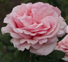 Rosier Donatella ® Meikerira, rosiers à grandes fleurs Meilland Richardier