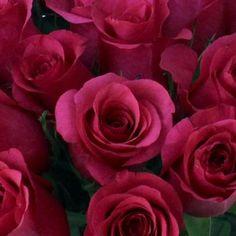 Janeiro Dark Pink Rose - 100 Roses