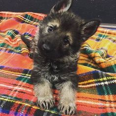 German Shepherd Memes, German Shepherd Pictures, Cute German Shepherd Puppies, German Husky, German Shepherds, Schaefer, Herding Dogs, Gsd Puppies, Cute Cats And Dogs
