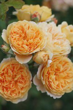 ~English Shrub or Climbing Rose: Rosa 'Crown Princess Margareta' (U.K., 1991)
