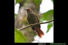 Scaled Spinetail	(Cranioleuca muelleri)