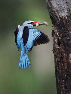 Woodland Kingfisher - Halcyon senegalensis; South Africa. Photo by Kobus Saayman.
