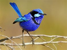 birds free wallpaper 99: Splendid Fairy-Wren