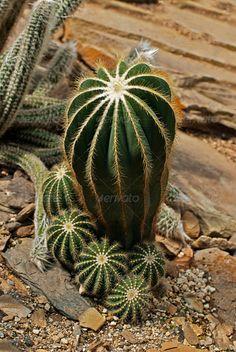 Cacti And Succulents, Planting Succulents, Cactus Plants, Planting Flowers, Dessert Landscaping, Terrarium Plants, Agaves, Beautiful Gardens, House Plants