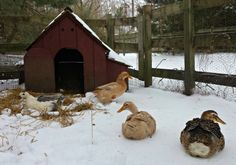 Duck shelters for your backyard ducks don't need to be elaborate since ducks stay naturally warm with their waterproof feathers and thick downy coat.