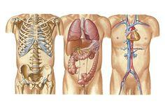 Paredes del abdomen buscar con google el cuerpo humano for Paredes sensoriales