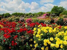 Japan Most Beautiful KEISEI Rose Garden 千葉・満開の京成バラ園 花の名所案内